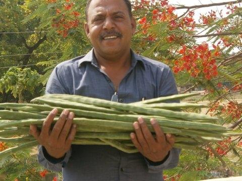 how to grow moringa from cuttings